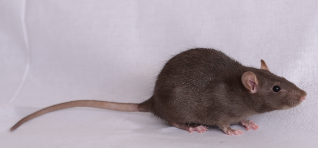 大鼠 Brown Norway Rats(BN)